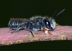 Leafcutter bee Megachile ordinaria, male (Simon Grove (TMAG)) Tags: australia tasmania hymenoptera insecta megachilidae megachile taroona tasmanianmuseumandartgallery december2015 tmagzoology