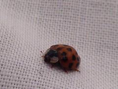 (paolalabarbuta) Tags: home lucky fortuna senzafiltri nofiltri iphone5 ladybug coccinella
