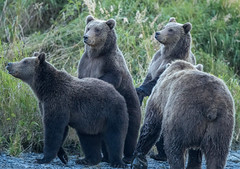 Inquisitive Bears (Explored) (Rick Derevan) Tags: alaska kodiak places unitedstates bear brownbear kodiakbrownbear us