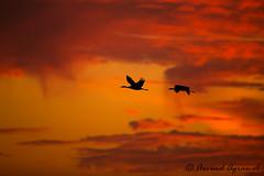 Sandhill Cranes - IMG_0399 (arvind agrawal) Tags: sandhillcrane crane lodi