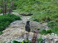 Wanderung auf dem Murmeltierweg - Hike along the Marmot Trail (GuteFee) Tags: murmeltier marmot