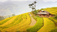 harvest (vy.vy (on/off)) Tags: rice paddy terrace yellow green farm agriculture rural countryside