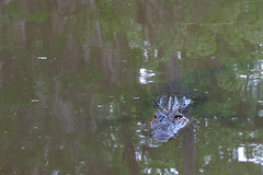 Slidell - Shhhht....Gator..... (Drriss & Marrionn) Tags: neworleans neworleansla neworleanscitytrip louisiana outdoor swamp river boattrip oldpearlriver slidell serene animals animal reptile reptiles crocodile crocodiles alligator alligators gator alligatormississippiensis alligatoridae crocodylia eusuchia vertebrata taxonomy:binomial=alligatormississippiensis taxonomy:genus=alligator taxonomy:species=mississippiensis taxonomy:family=alligatoridae taxonomy:superfamily=alligatoroidea taxonomy:order=crocodylia taxonomy:class=eusuchia taxonomy:superclass=gnathostomata taxonomy:subphylum=vertebrata raxonomy:phylum=chordata americanalligator commonalligator