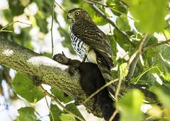 Cooper's Hawk Juvenile with Black Squirrel (GeorgeTsai 168) Tags: coopers hawk black squirrel prey raptor