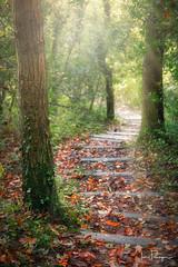 Autumn walk ( Ian Flanagan) Tags: woods trees sunlight landscape pathway autumn woodland ivy depthoffield steps depth walkway
