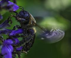 Bee_SAF4142 (sara97) Tags: bee flower flyinginsect insect missouri nature outdoors photobysaraannefinke pollinator saintlouis towergrovepark urbanpark wildlife closeup copyright2016saraannefinke