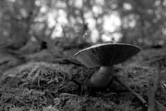 hill shroom (Paul Lundberg) Tags: nikonfe2 nikkor28mmf28ais kodaktmax100 kodakhc110 plustekopticfilm7300 film blackwhite mushroom fungi bokeh forest forestfloor moss