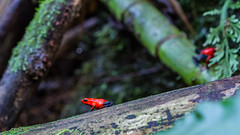 Strawberry poison-dart frog (andres.pereira) Tags: poison frog red macro costa rica turrialba nature forest jungle canon canon7d