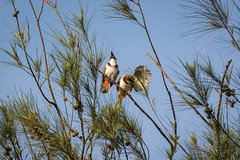 A pair of bulbuls (malc1702) Tags: pairofbulbuls redwhiskeredbulbuls bulbul birds smallbirds wildlife animals nature nikond7100 tamron150600 indianbirds asianbirds