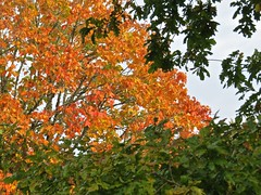 5110 Sycamore autumn colour at Plas Newydd (Andy - Daft as a brush - don't ask!) Tags: 20161021 aaa autumncolour brynsiencyn ccc cymru nationaltrust northwales ooo orange plasnewydd red rrr sss sycamore tree ttt