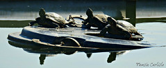 Red-eared Sliders (tinlight7) Tags: terrapin turtle pondturtle pond redearedslider reptile basking water park sakarya turkey taxonomy:kingdom=animalia animalia taxonomy:phylum=chordata chordata taxonomy:subphylum=vertebrata vertebrata taxonomy:class=reptilia reptilia taxonomy:order=testudines testudines taxonomy:family=emydidae emydidae taxonomy:genus=trachemys trachemys taxonomy:species=scripta taxonomy:binomial=trachemysscripta taxonomy:trinomial=trachemysscriptaelegans tortuedefloride  testugginepalustredalleguancerosse roodwangschildpad trachemysscriptaelegans rotwangenschmuckschildkrte redearedturtle tortugapinta tartarugadeorelhasvermelhas testugginepalustredalleorecchierosse taxonomy:common=tortuedefloride taxonomy:common= taxonomy:common=testugginepalustredalleguancerosse taxonomy:common=roodwangschildpad taxonomy:common=redearedslider taxonomy:common=rotwangenschmuckschildkrte taxonomy:common=redearedturtle taxonomy:common=tortugapinta taxonomy:common=tartarugadeorelhasvermelhas taxonomy:common=testugginepalustredalleorecchierosse
