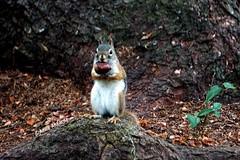 Red Squirrel with Chestnut (--Anne--) Tags: squirrel squirrels animals nature wildlife redsquirrel nut