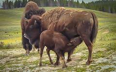 (LeseAnnKConn) Tags: bison yellowstonepark babybison nursing