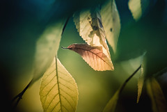 Backlit (Carrie McGann) Tags: leaves elm fall backlit macromondays 102416 nikon interesting