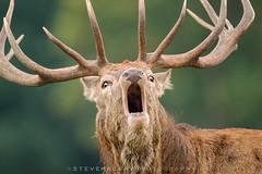 ROAR (Steve Mackay) Tags: reddeer rutting reddeerroaring cervus elaphus rut stevemackay deer nature wildlife animal animals