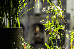 They give us the Greens of Summers (*Capture the Moment*) Tags: 2016 altstadt bern berne blumen bokeh dof details flowers fotowalk historiccenter pflanzen schweiz sommer sonne sonya7m2 sonya7mii sonya7ii sonyilce7m2 strassenscene streetlife summer switzerland wetter zeissbatis1885