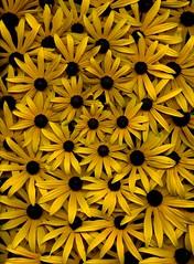 57764.01 Rudbeckia hirta (horticultural art) Tags: horticulturalart rudbeckiahirta rudbeckia blackeyedsusan flowers spiral