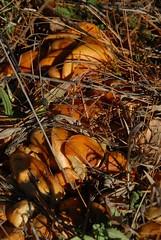 DSG_7360 (Greying_Geezer) Tags: 2016 hazelbird ncc natureconservancyofcanada hamiltontownship fungi mushrooms orta e2e hiking naturereserves