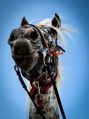 Face à face (Ma Gali) Tags: horse chevaux cheval tarn france midipyrénées roussayrolles poney chevauxarabes pursangarabe randonnéeéquestre tourismeéquestre horseriding