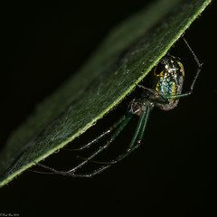 Living on the edge (Explored) (Fred Roe) Tags: lca81a5571 nikond810 nikonafsmicronikkor105mmf28 nature wildlife spider orchardorbweaver leucaugevenusta macro macromondays edge