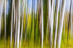 Autumn Forest (Quincey Deters) Tags: 2016 alberta allrightsreserved autumn black blur blurredmotion brown canada colourimage fall forest green horizontal icm intentionalcameramovement jaspernationalpark landscape lines longexposure nature neutral northamerica outdoor pan september summer tree verticallines white quinceydeters
