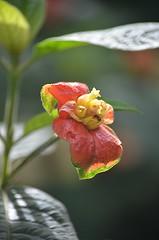 Hot Lips aglow (jungle mama) Tags: orange yellow windows tropicsfairchild tropical botanic gardenfairchild garden psychotria psychotraipoeppigiana labiosdeputa soremouthbush