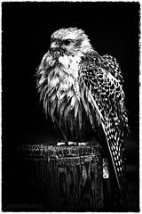 Badetag (AchimSchmidt) Tags: falke greifvogel vogel raubvogel gefalke baden vollbad natur tier birdofprey bird animal nature falcon raptor schwarzweiss blackandwhite blackwhite blacknwhite bw bwd bnw blancoynegro noretblanc noiretblanc noireetblanc nb tambach bayerischerjagdfalkenhof falknerei