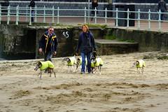 beach dog posse 01 (byronv2) Tags: edinburgh edimbourg portobello sea seaside shore beach scotland northsea coast coastal rnbforth firthofforth firth forth river riverforth street candid peoplewatching dog dogs greyhound