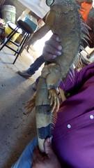 IMG_20151209_145002 (estradelirius) Tags: iguana garrobo