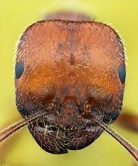 Ant (Portrait) (Can Tuner) Tags: can cantuner canon6d cantuncer canon macro makro macros macrophotography micro mikro makros microscop microscope ant karnca izmir tuner turkey trkiye turkiye tuncer stack stacking studio sting