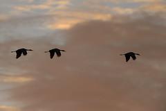 Cranes-40450.jpg (Mully410 * Images) Tags: burnettcounty birdwatching birding crexmeadowsstatewildlifearea sandhillcranes bird wisconsin birds sunset cranes crexmeadows silhouette birdsinflight clouds