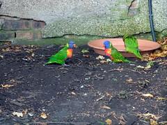 edinburgh_236 (OurTravelPics.com) Tags: edinburgh rainbow lorikeets zoo