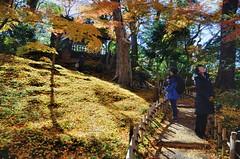 Blanket of Golden Momiji (jpellgen) Tags: japan japanese nihon nippon  ishikawa kanazawa kenrokuen garden zen     asia nikon 2016 fall autumn sigma 1770mm d7000 leaves leaf momiji koyo maple november travel honshu park nature scenery