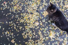 Cat // Autumn in Amsterdam (Merlijn Hoek) Tags: leaves bladeren herfst autumn merlijnhoek merlijn hoek fotograaf fotografie photographer photography man autodidact amsterdammer nikon nikkor camera kamera full fullframe d810 nikond810 fullframedigitalslr digitalslr slr 35mmformat 36×24mm 35mm 36megapixel digitalsinglelensreflex straat street straatfotografie streetphotography