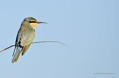 Blue-cheeked Bee-eater (Esmaeel Bagherian) Tags:         esmaeelbagherian bird birdsofiran birdwatching birdwatcher beeeater bluecheekedbeeeater 1395 2016 tamron tamron150600 nikon nikond7000