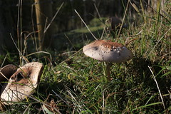 IMG_1355 (Steeple Ducks) Tags: polden hills autumn mushroom leaves view landscape pancake lens somerset levels compton dundon great breach wood combe hill windmill monument street hood way hatch footpath