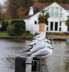 Seagull Line Up (jo.dainty) Tags: outdoor seagull seagulls line lineup water feathers bird birds white up moist wet thames waiting watching