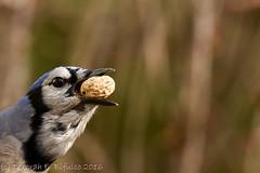 Going big (dbifulco) Tags: blja bird bluejay closeup face nature newjersey nikkor300f4pfed peanut wildlife yard
