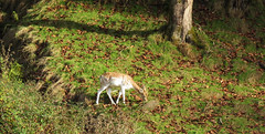 Daim (Luciile.W) Tags: daim fort automne animaux