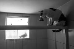 Espreitando a pomba (felipe sahd) Tags: city cidade fortaleza cear brasil gatos felinos 123bw noiretblanc