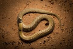 Curl snake (Suta suta) (peter soltys) Tags: petersoltys reptile reptilia adventure adventuretillyoudrop herping exitement evolution photo photography macro wide australia queensland qld curlsnake sutasuta suta snake serpent