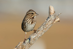 Song Sparrow (Jesse_in_CT) Tags: songsparrow nikon200500mm
