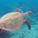 Hawksbill Turtle | Koror, Palau