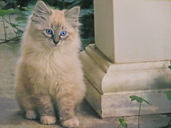 Moment to Observe (clarkcg photography) Tags: kitten cat siamese blueeyes fluffy porch porchpost ivy tabbymix