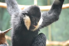 White Cheeked Gibbon, sticking his tongue out (kaysha54) Tags: chicago tongue primate lincolnparkzoo whitecheekedgibbon