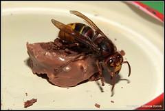 Hornisse auf Genuss-Tour (1) (Jolanda Donn) Tags: fauna august echte wespen insekten hymenoptera insecta hornisse vespidae vespinae vespacrabro hautflgler faltenwespen august2015 nikoncoolpixp610 20150820