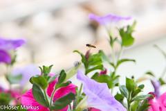 IMG_0976-1 (markus.hoser) Tags: fliege lavendel flug schwebfliege fluginsekt syrphusim