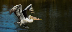 Pelican Take Off (TerrenceSly) Tags: bird water animal fly wildlife birding wing pelican