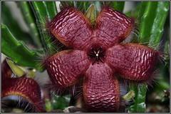 Stapelia hirsuta (helkifoto) Tags: stapelia aasblume asclepiad asclepia stapeliahirsuta helkifoto