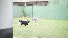 DSC02958 (agorayebm) Tags: dog bordercollie dalmatian crick dlmata